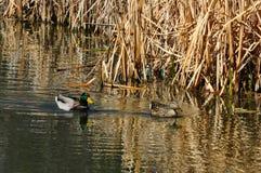 ducks пары mallard Стоковое Изображение
