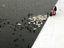 ducks подавая лебеди Стоковые Изображения