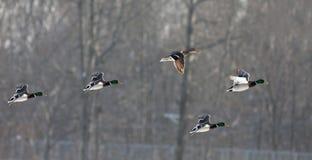 ducks полет Стоковая Фотография