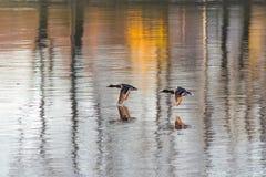 ducks полет Стоковое фото RF