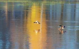 ducks полет 2 Стоковые Изображения RF