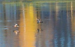 ducks полет Стоковые Изображения RF