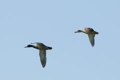 ducks полет 2 Стоковое фото RF