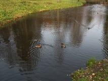 ducks река Стоковое Изображение
