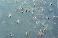 ducks река Стоковые Фотографии RF