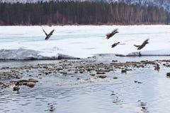 ducks река Стоковое Изображение RF