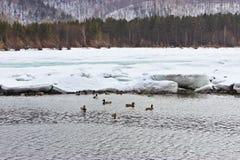 ducks река Стоковые Изображения RF