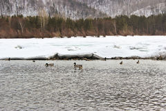 ducks река Стоковое фото RF
