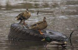 ducks река Стоковая Фотография