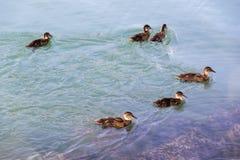 ducks семья Стоковое Изображение RF