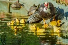 ducks семья Стоковая Фотография