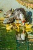 ducks семья Стоковое фото RF