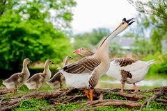 ducks семья Стоковое Изображение