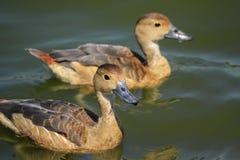 ducks симпатичные 2 Стоковое фото RF