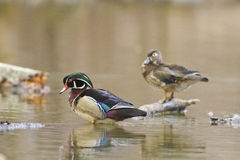 ducks древесина Стоковые Изображения