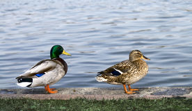Ducks. Two ducks near the water Stock Photography