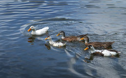 Ducks. Mallard duck and young ducklings on water Stock Image