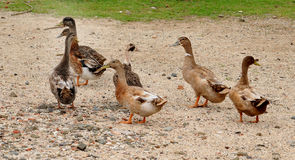 Ducks. A flock of ducks and geese in a park Stock Images