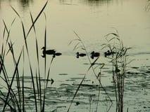Ducks. Swimming ducks Stock Photo