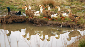 Ducks. Family ducks, pace in a column after the drake Stock Photography