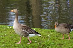 Free Ducks Royalty Free Stock Image - 143459056