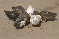 Ducks Stock Photography