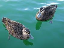 Ducks. 2 Pacific Black Ducks paddling around in the water Stock Image