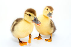Ducks Stock Photos