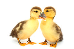 Ducks. On white background Stock Photo