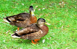 Ducks. Two ducks on a park lawn Stock Image