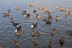 Ducks. An image of Ducks with orange beak Stock Photo