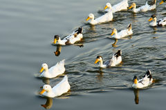 Ducks. Many ducks are swimming in the water royalty free stock image