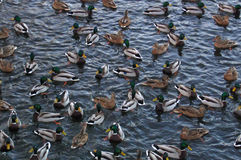 Ducks. Number of ducks, seeking for water during period of frost Royalty Free Stock Photos