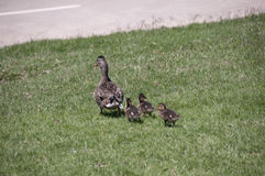 Ducks. This is a picture of a mallard duck and her ducklings family.  they are walking on grass toward a road Royalty Free Stock Photos