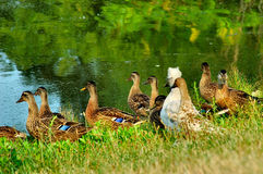 Ducks. Nothing to see here, folks! Several ducks facing the water, one duck looking at the camera, questioningly. What's everyone looking at royalty free stock image