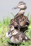 Ducks. Baby ducks with mother during summer Stock Photography