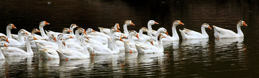 Ducks. Beautiful banner of white ducks swimming in pond royalty free stock photos