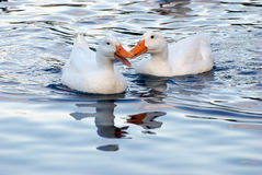 Ducks. Two ducks in the blue water lake Stock Images
