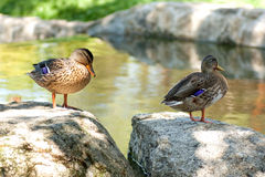 Ducks. Resting on a rock Royalty Free Stock Photo