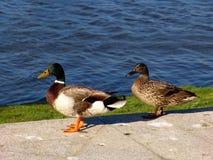 Ducks. Near the river Royalty Free Stock Photos