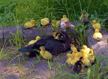 Ducks. Little ducks with there mom Royalty Free Stock Images