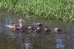 Ducks. Mallard duck family svimming in the river Stock Image