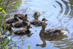 Ducks. Mallard duck family svimming in the river Stock Images