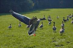 Ducks Stock Images