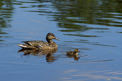 Ducks. Duck`s family floating a lake Stock Photos