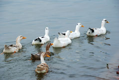Ducks. A group of duck in the water Stock Photos