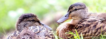 Ducks. Two ducks looking at each other Stock Image