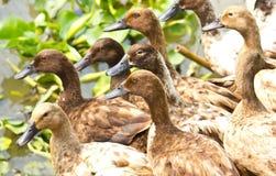 Ducks. Image of  Ducks in the water Stock Photos
