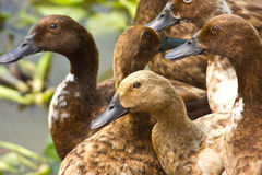 Ducks. Image of  Ducks in the water Stock Photography