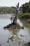 Ducks. Birds at the Geelong Sanctuary Royalty Free Stock Photography